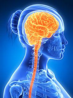 3d rendered illustration - female brain